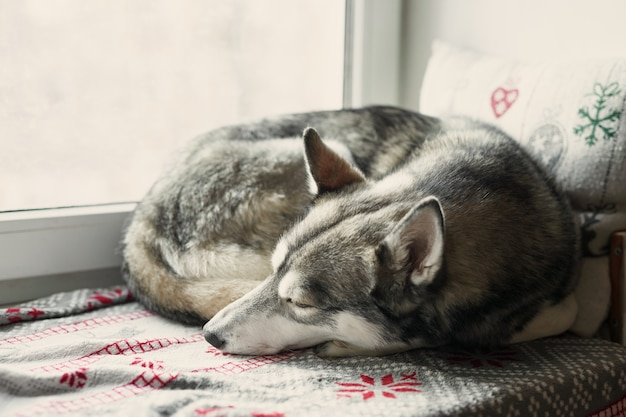 Hermoso blanco y negro husky siberiano durmiendo