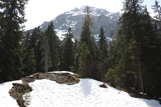 Hermoso bosque con muchos abetos con altas montañas cubiertas de nieve.