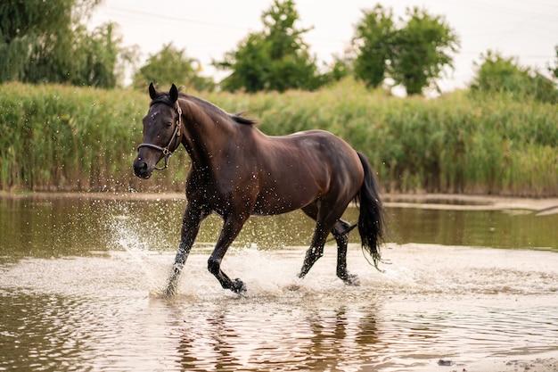 Hermoso caballo oscuro bien cuidado para pasear por el lago,