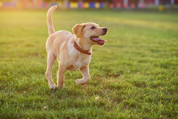 Hermoso cachorro labrador jugando en el césped al atardecer o al amanecer