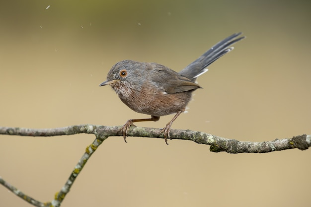 Hermoso caliente de un macho de pájaro curruca subalpina (sylvia cantillans) en una rama de un árbol