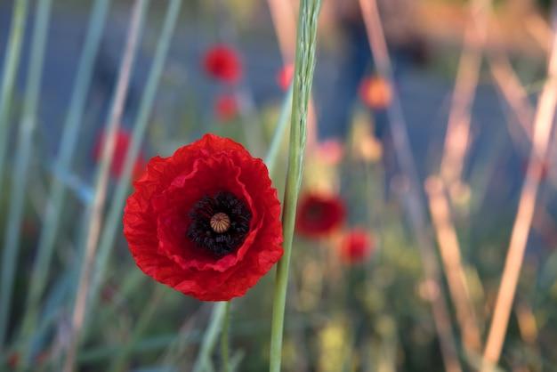 Hermoso campo de amapolas rojas en la luz del amanecer. burgas, bulgaria
