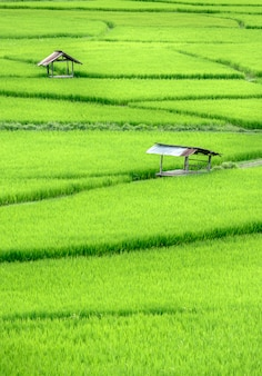 Hermoso campo de arroz en terrazas verdes