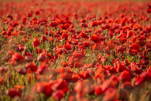 Hermoso campo de flores de amapola