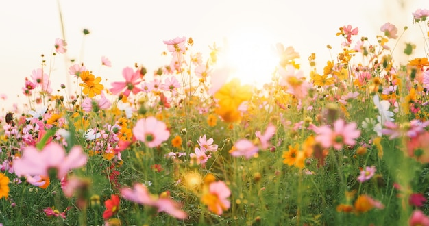 Hermoso campo de flores cosmos