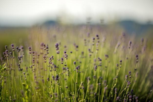 Hermoso campo de flores de lavanda inglesa