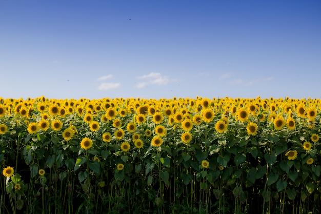 Hermoso campo de girasol con un cielo azul claro