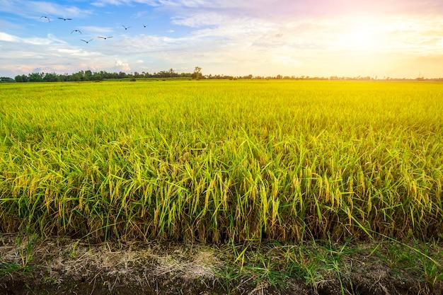 Hermoso campo de maíz verde con fondo de cielo al atardecer