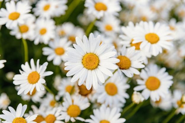 Hermoso campo de margaritas florecidas