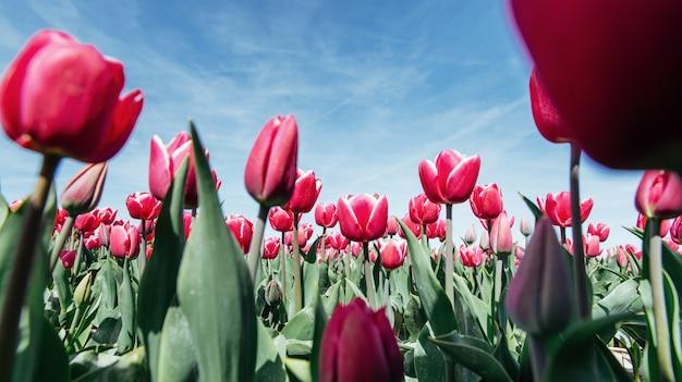 Hermoso campo de tulipanes en los países bajos