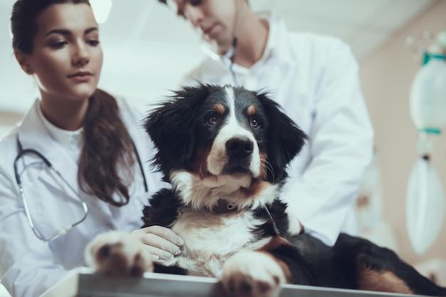 Hermoso chequeo de la clínica veterinaria de raza pura sennenhund.
