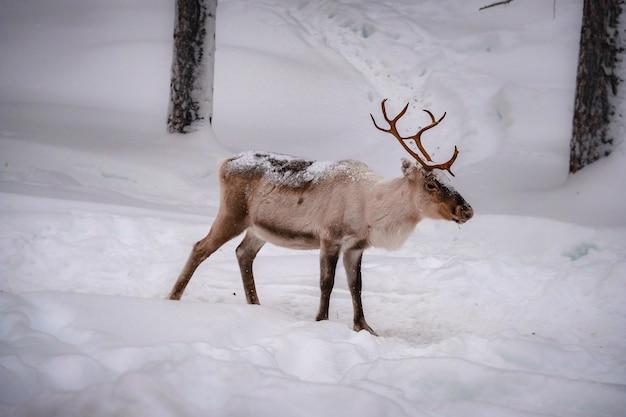 Hermoso ciervo en el suelo nevado en el bosque en invierno