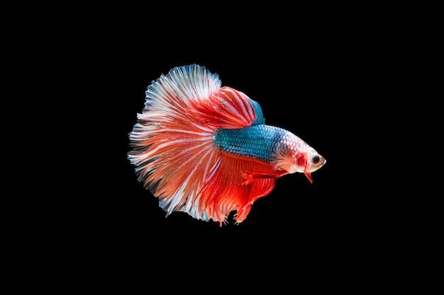 Hermoso colorido de peces betta siameses