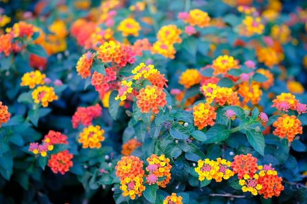 Hermoso colorido rojo amarillo naranja flores patrón en jardín.