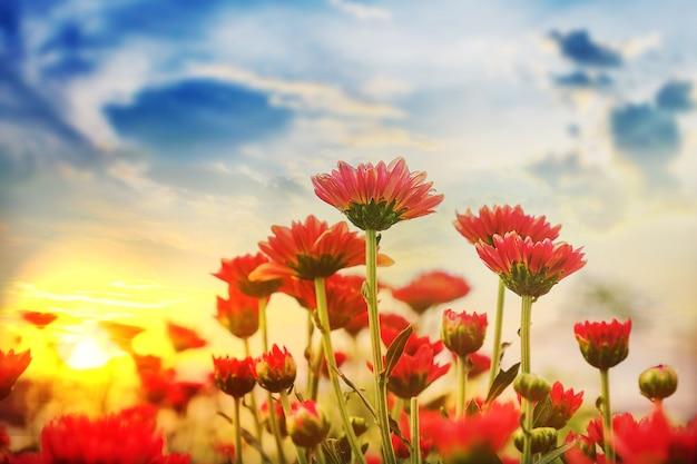 Hermoso crisantemo con puestas de sol en el jardín.