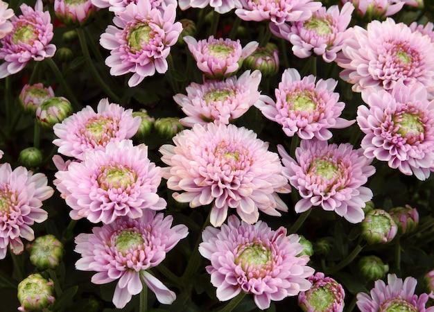 Hermoso diente de león, flores de color rosa está floreciendo en el jardín.