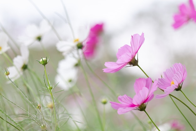 Hermoso enfoque selectivo suave rosado y blanco cosmos campo de flores