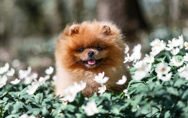 Hermoso y esponjoso perro pomerania en un bosque de flores de primavera. adorable perro perro en un bosque