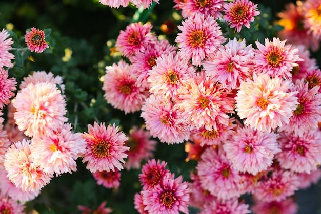 Hermoso fondo de flores de crisantemo rosa en el jardín