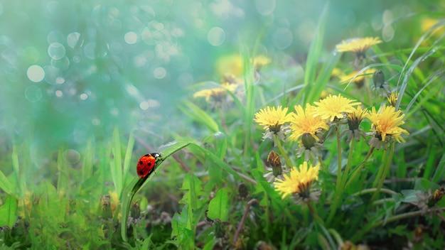 Hermoso fondo de pantalla ladybug se arrastra sobre una hoja de hierba entre dientes de león