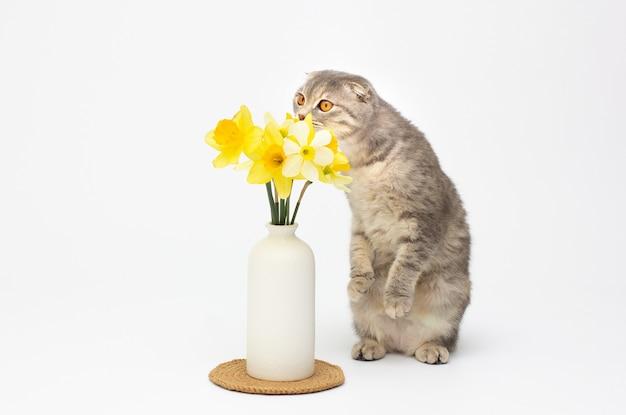 Un hermoso gato escocés esponjoso está parado y huele flores amarillas en una maceta sobre fondo blanco.