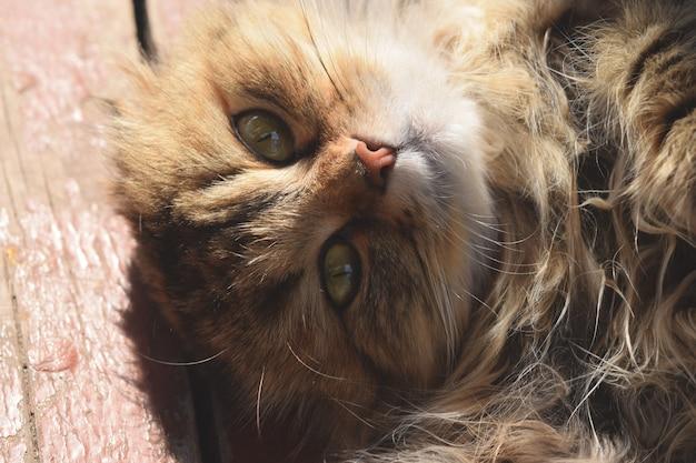Hermoso gato esponjoso con grandes ojos tomando el sol y mirando al dueño