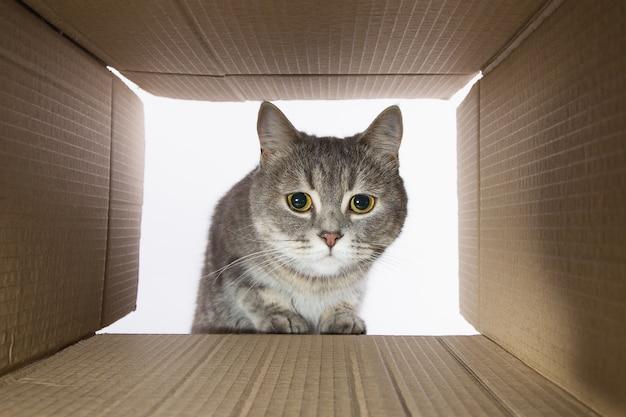 Hermoso gato gris, se asoma en la carobka de cartón, una mascota curiosa revisa lugares interesantes. copie el espacio.