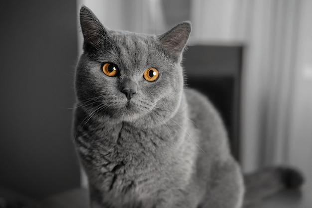 Hermoso gato gris británico, retrato de primer plano, fondo gris, grandes ojos amarillos