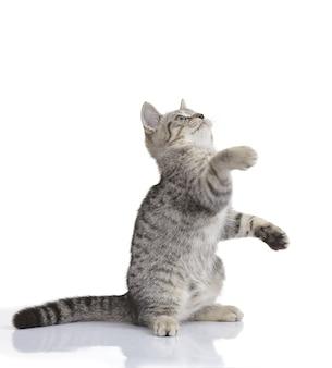 Hermoso gato gris jugando aislado en un blanco