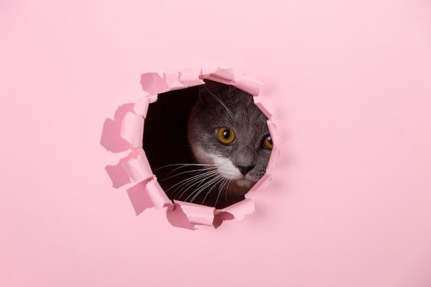 Hermoso gato gris lindo se asoma por un agujero en papel rosa. copie el espacio.