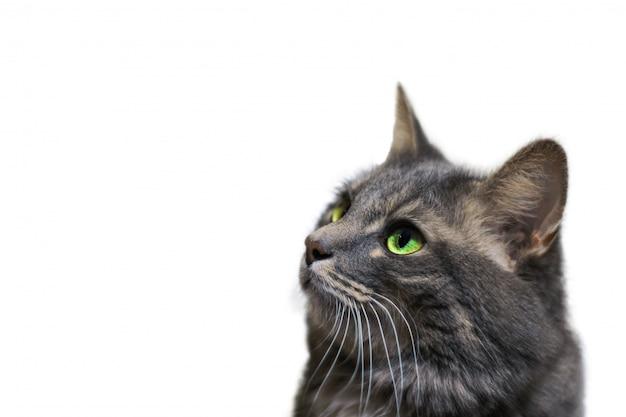 Un hermoso gato gris con ojos verdes sobre un fondo blanco aislado mira hacia el espacio de copia lateral