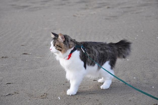 Un hermoso gato kurilian bobtail camina en la primavera con una correa.