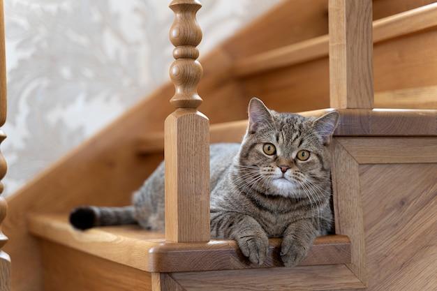 Un hermoso gato mullido tricolor mullido se sienta en las escaleras y mira hacia el marco
