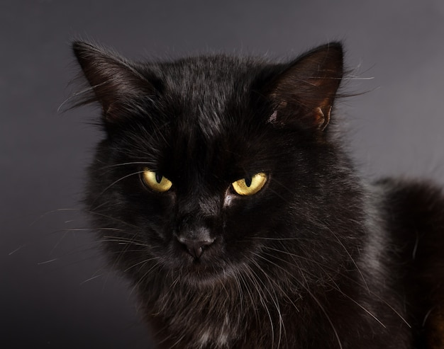 Hermoso gato negro esponjoso con ojos amarillos
