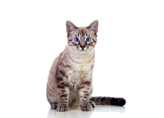 Hermoso gato con ojos azules