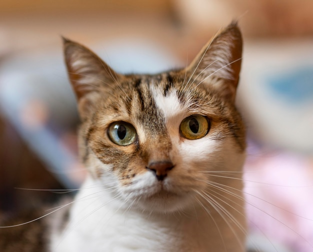 Hermoso gato con ojos diferentes