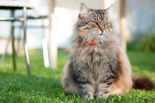 Hermoso gato rayado se sienta en la hierba verde en un prado soleado en el verano