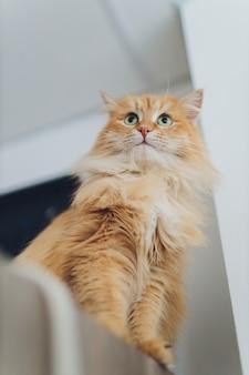 Hermoso gato rojo en foco. ojo de gato.