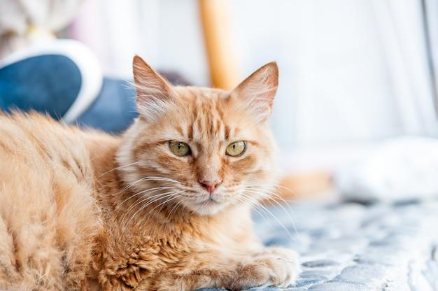 Hermoso gato rojo