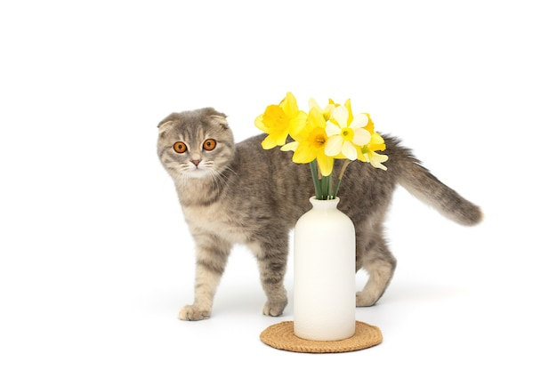 Un hermoso gato scottish fold esponjoso se encuentra junto a un jarrón con flores amarillas sobre fondo blanco.