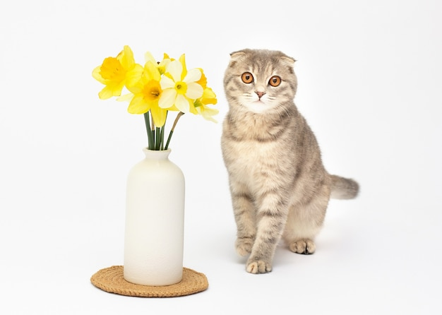 Un hermoso gato scottish fold esponjoso stis por un jarrón con flores amarillas sobre fondo blanco.