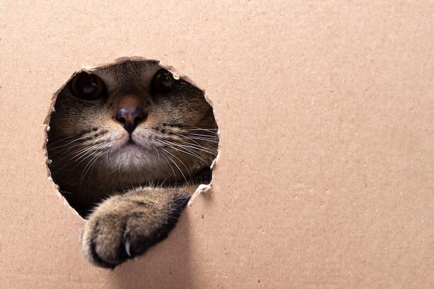 Un hermoso gato scottish fold mira en una caja de cartón recortada, espacio para texto