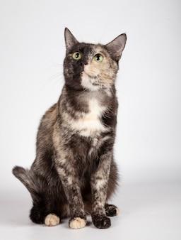 Hermoso gato tricolor está sentado en el estudio mirando hacia arriba sobre fondo blanco.