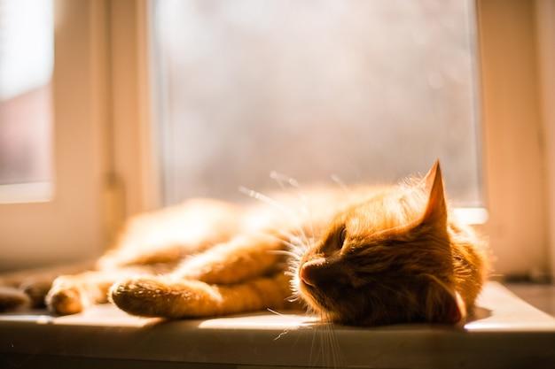 Hermoso gato tuerto dorado acostado cansado en el alféizar de la ventana