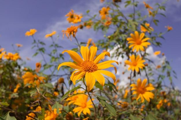 Hermoso girasol mexicano está floreciendo con azul cielo