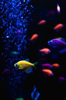 Hermoso grupo de peces de mar. vida colorida bajo el agua. primer ternario amarillo brillante de los pescados del acuario. enfoque selectivo