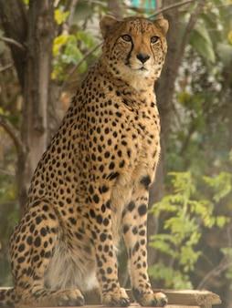 Hermoso guepardo con una mirada enojada durante el día.