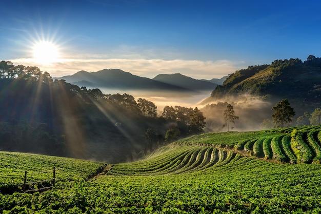 Hermoso jardín de fresas y amanecer en doi ang khang, chiang mai, tailandia.