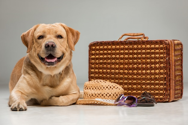 Hermoso labrador con la maleta