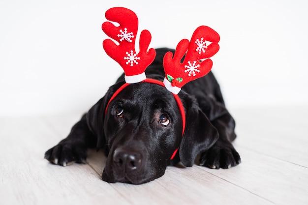 Hermoso labrador negro en casa con cuernos de reno. concepto de navidad